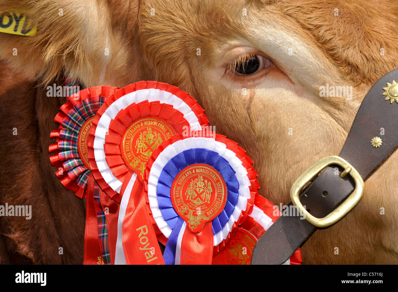 Close up of the Champion Limousin at the Royal Highland Show 2011 - Stock Image