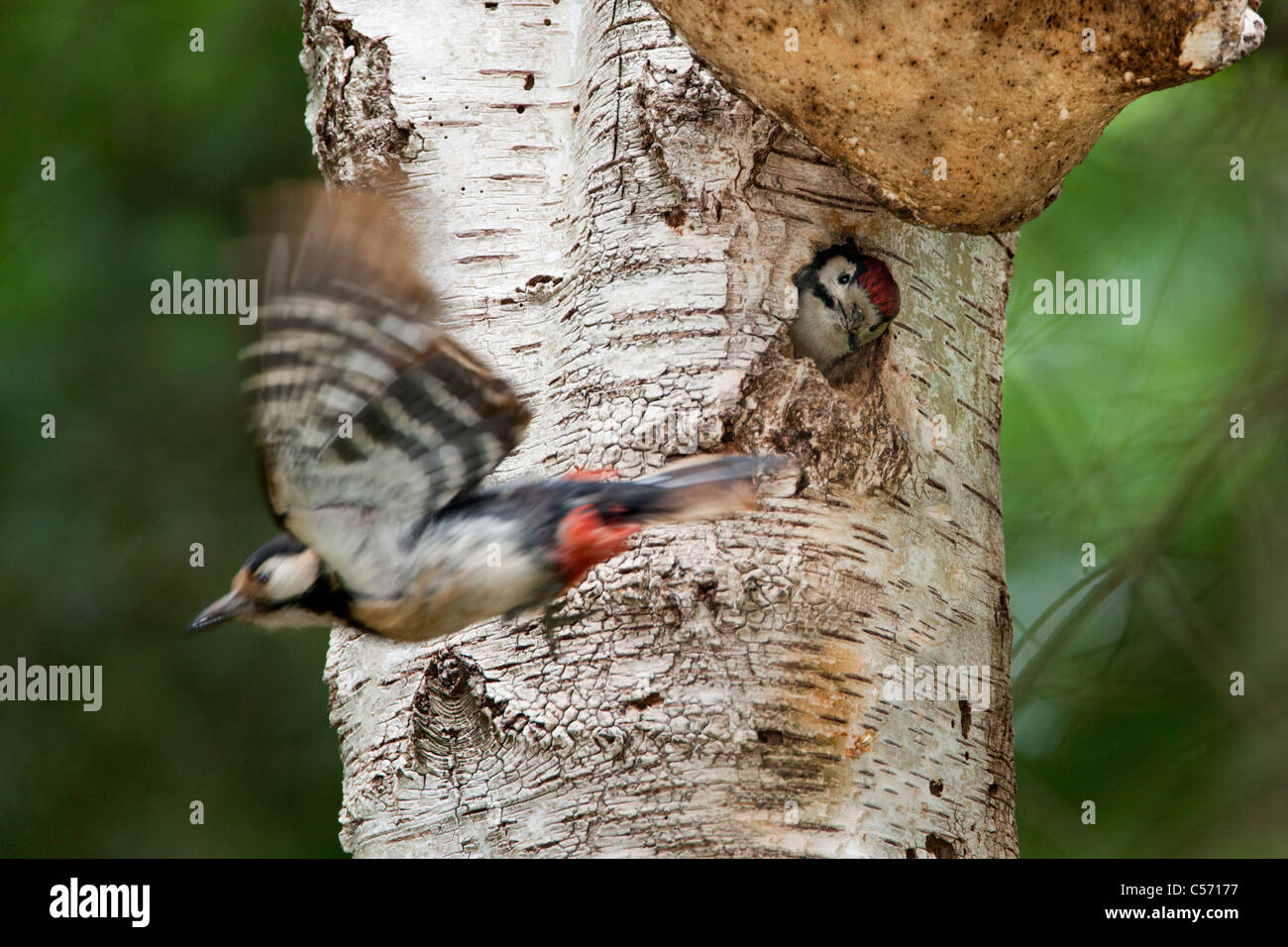 The Netherlands, s-Graveland, Middle spotted woodpecker(Dendrocopos medius). Young looking out of hole. - Stock Image