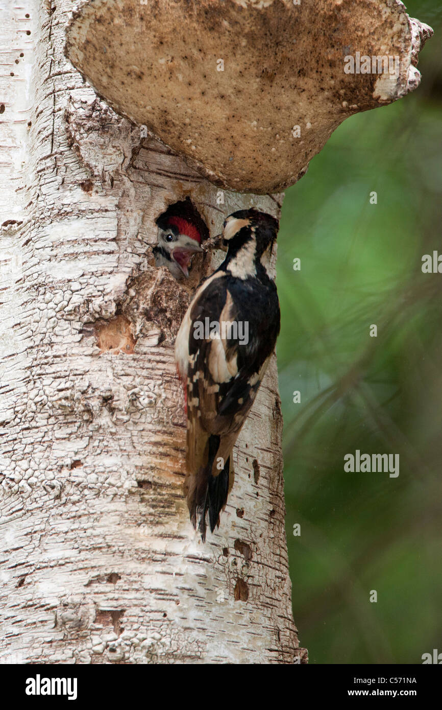 The Netherlands, 's-Graveland, Middle spotted woodpecker  (Dendrocopos medius). Mother feeding young. - Stock Image