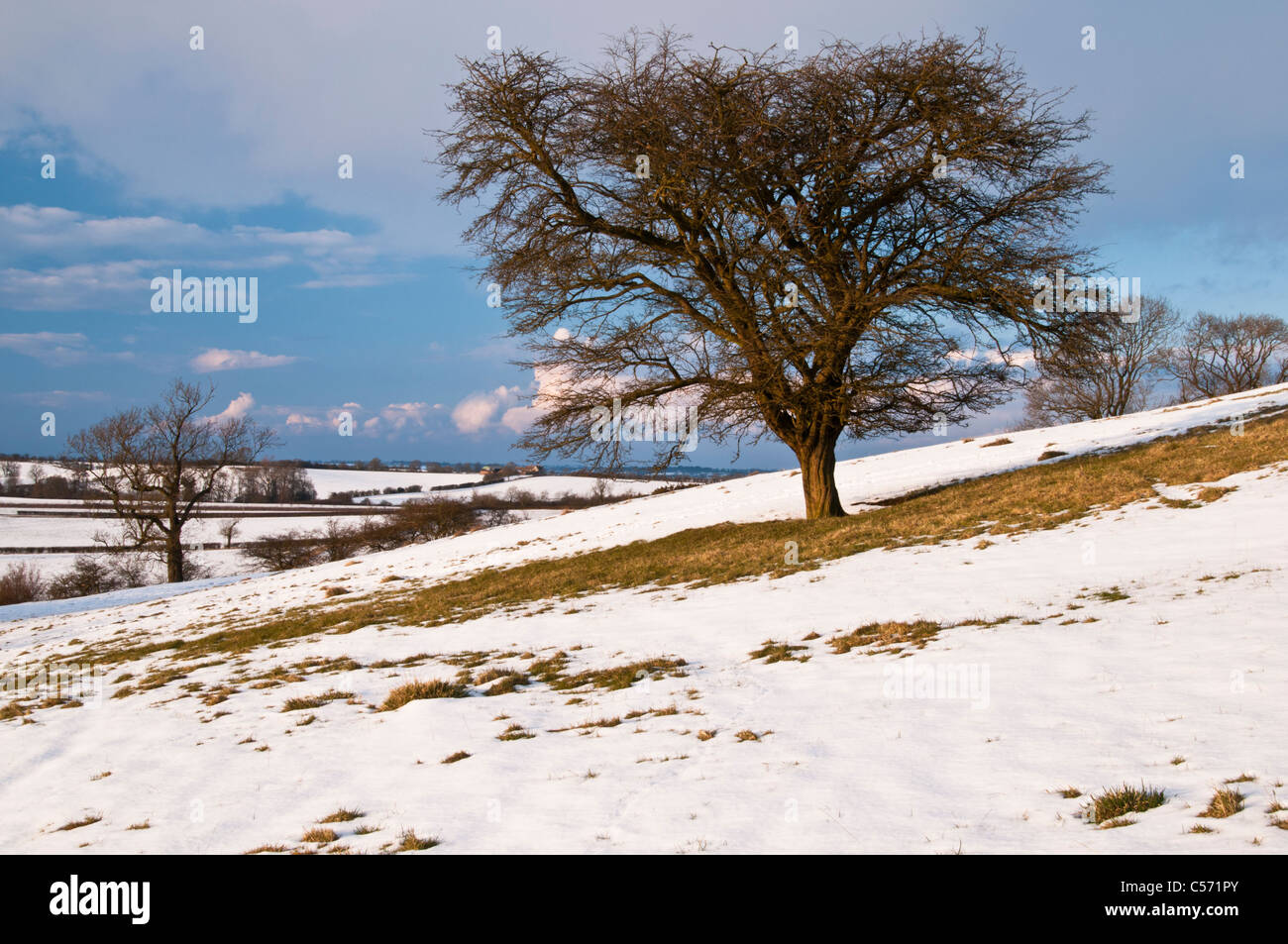 Late afternoon winter sun catches a lone Hawthorn tree on the snow-covered slopes of Honey Hill in Northamptonshire, - Stock Image