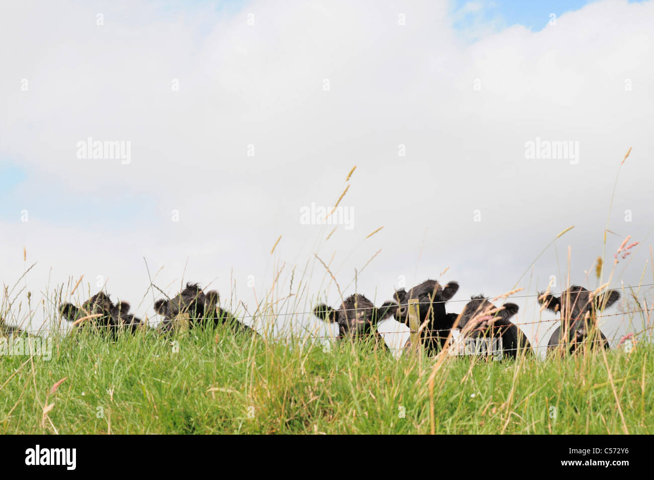 Cows in fenced field - Stock Image