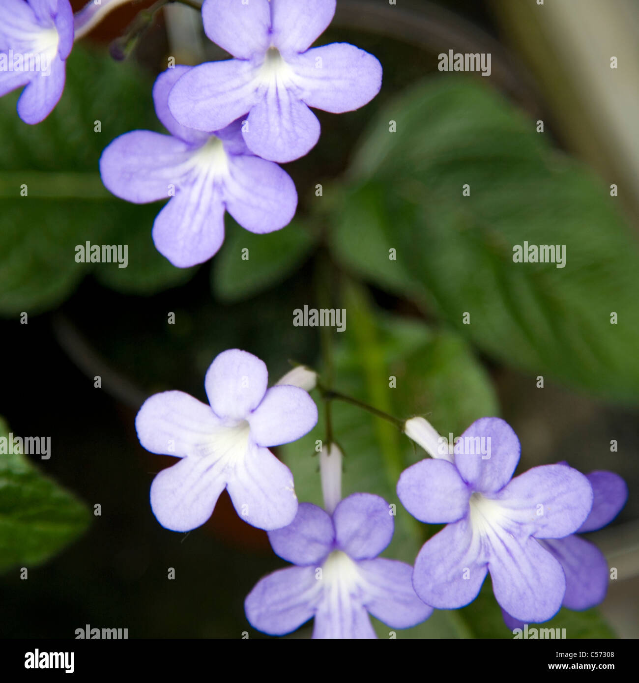 Streptocarpus Falling Stars Flowers Stock Photo