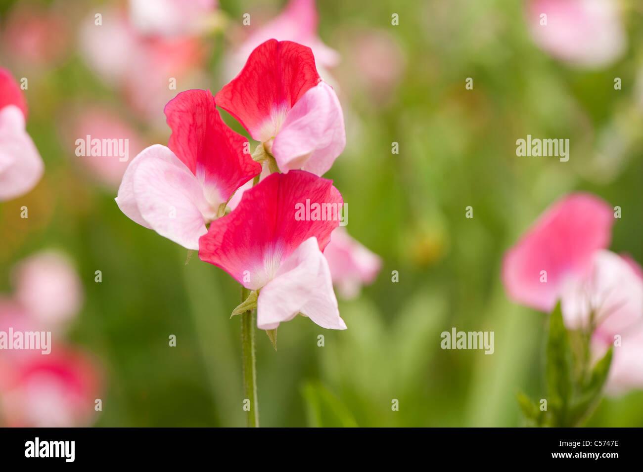 Sweet pea, Lathyrus odoratus 'Painted Lady', in flower - Stock Image