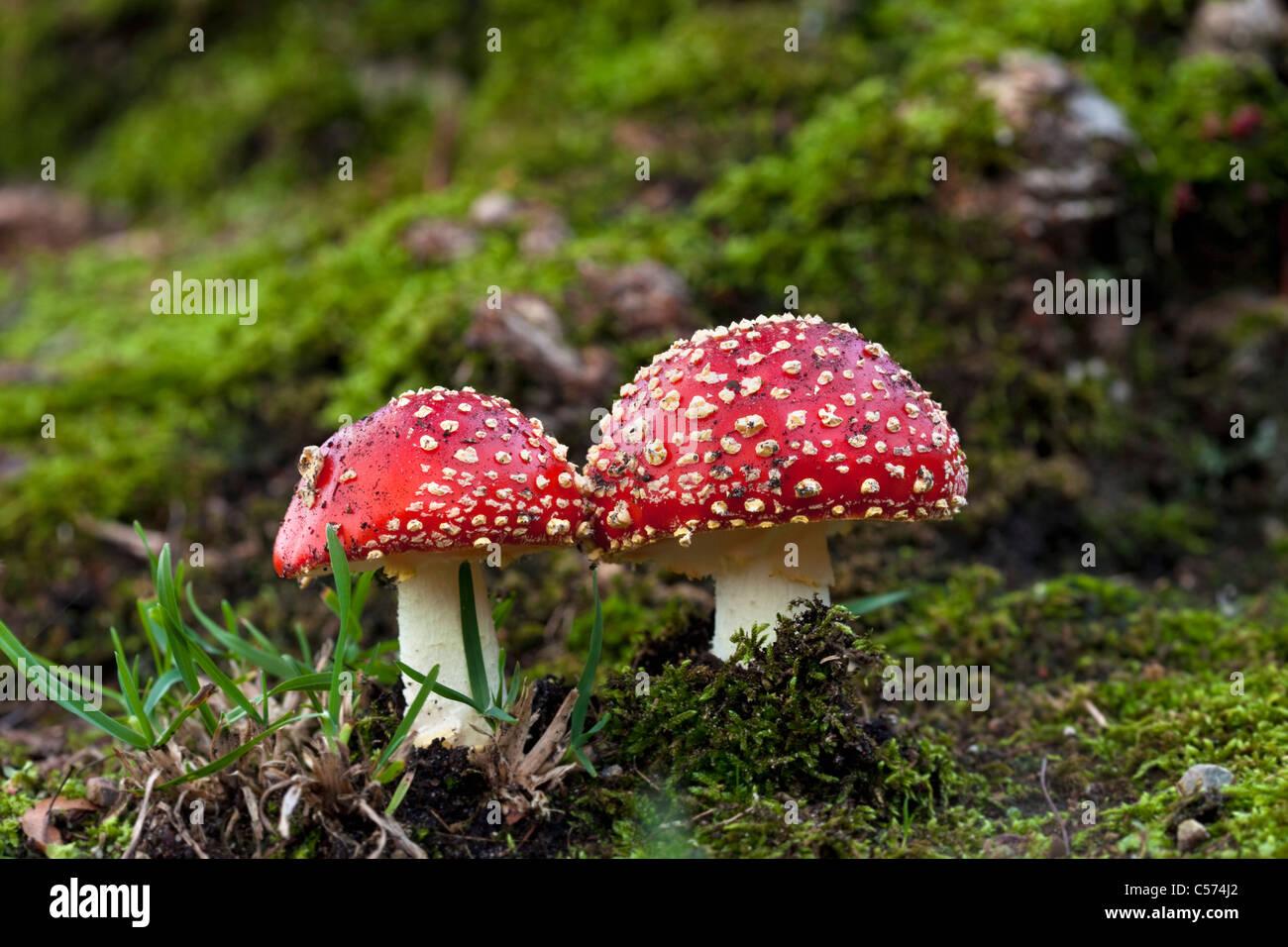 The Netherlands, Denekamp, Estate Singraven. Autumn. Fly Fungus. Amanita Muscaria. Fly agaric. - Stock Image