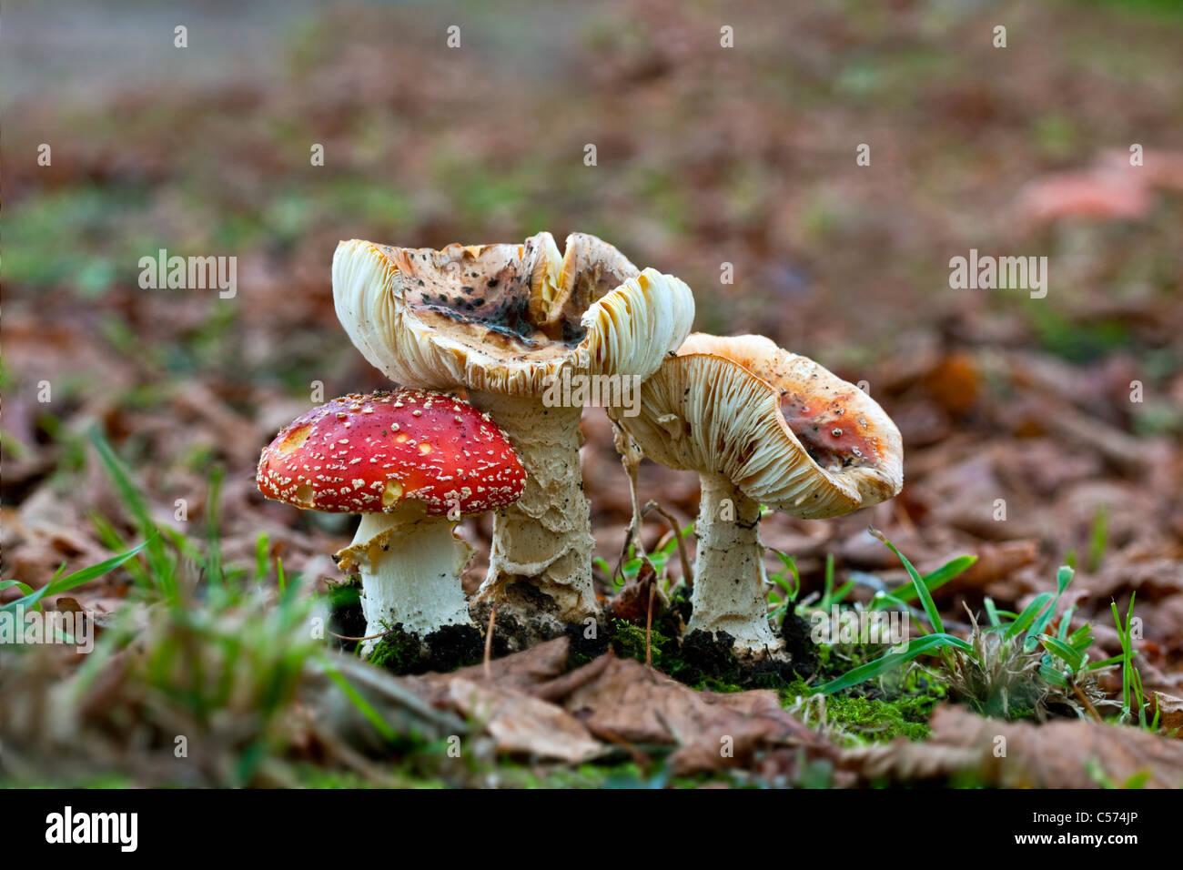 The Netherlands, Denekamp, Estate Singraven. Autumn. Fly Fungus. Amanita Muscaria. Fly agaric. Stock Photo