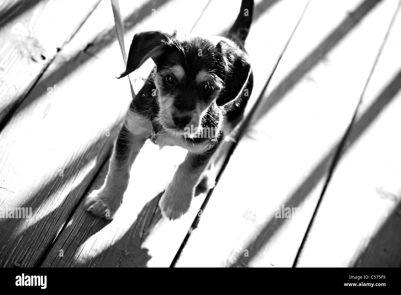 A Cute Mixed Breed Borkie Puppy In Black And White Shallow Depth Of