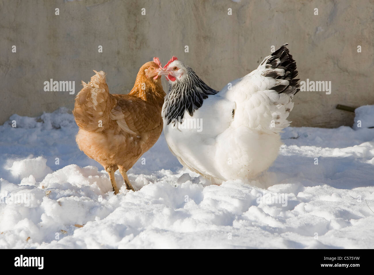 Two hens in snow - Stock Image