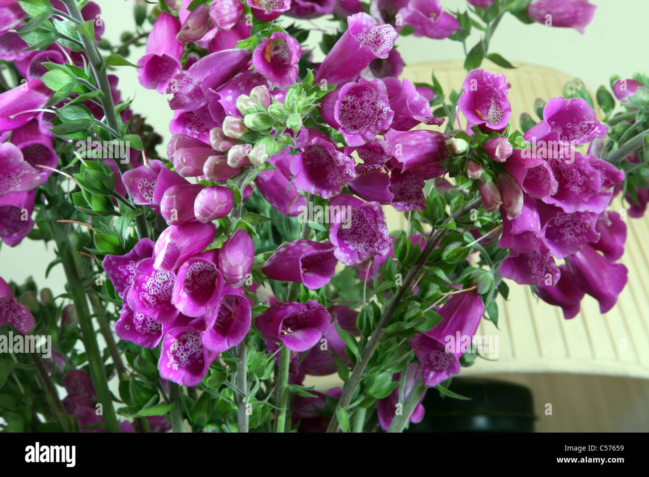 wild common foxgloves, Digitalis purpurea, as cut flowers in an Irish cottage - Stock Image