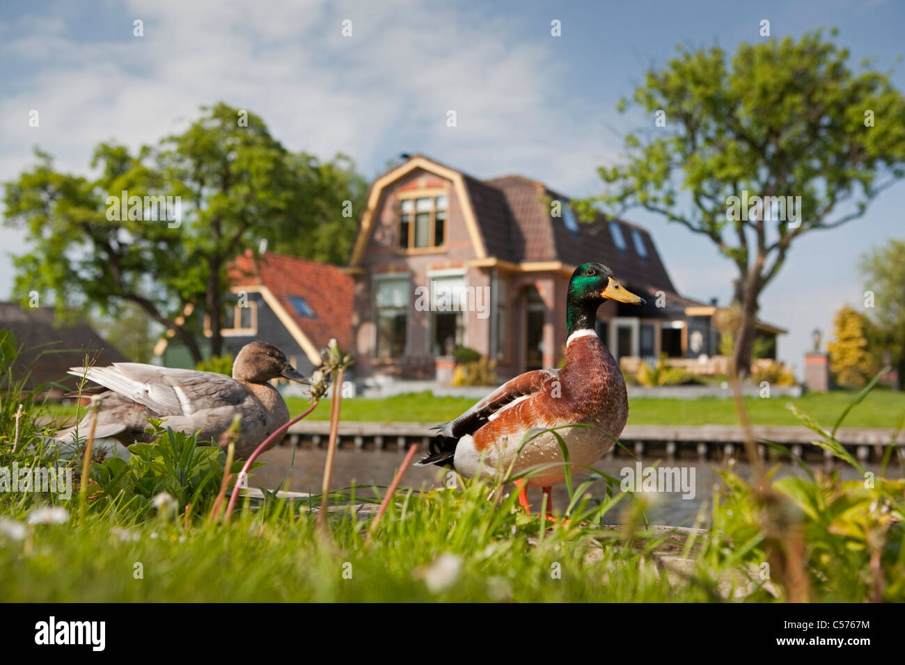 The Netherlands, Giethoorn, Village with almost only waterways. Ducks. - Stock Image
