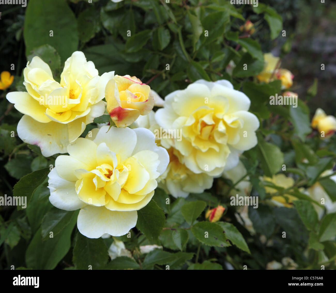Gold Flower Carpet Yellow Groundcover Rose Stock Photo 37652672