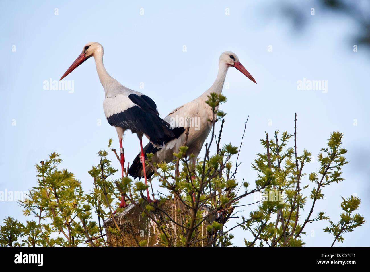 The Netherlands, Jonen, Storks on expected nest. Stock Photo