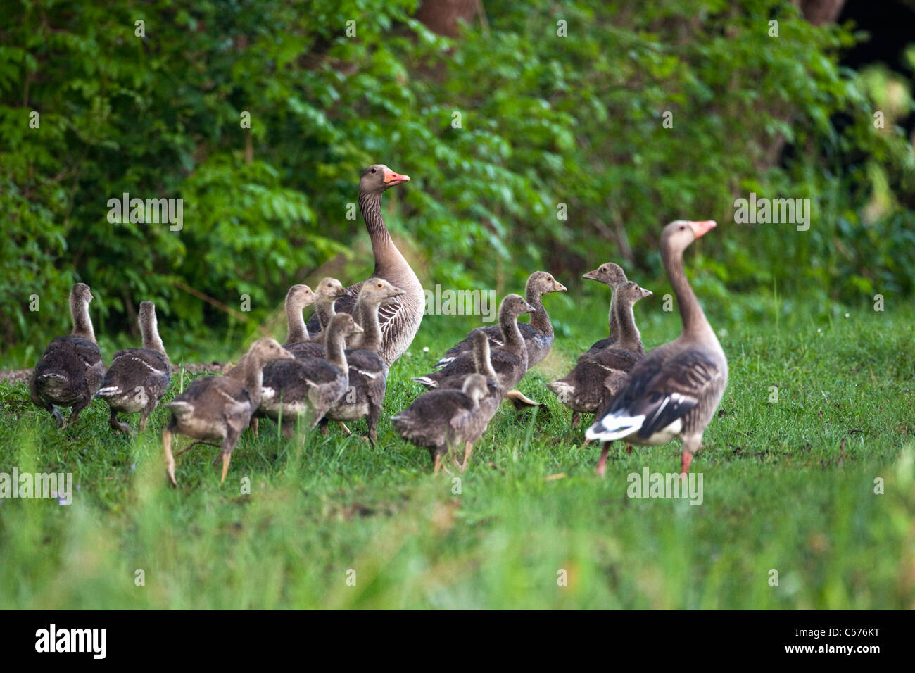 The Netherlands, Giethoorn, Greylag goose and young. - Stock Image
