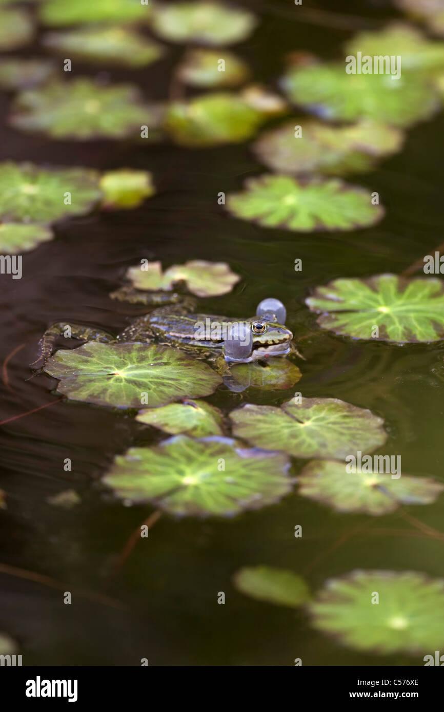 The Netherlands, Blokzijl, Pool Frog, Pelophylax lessonae. - Stock Image