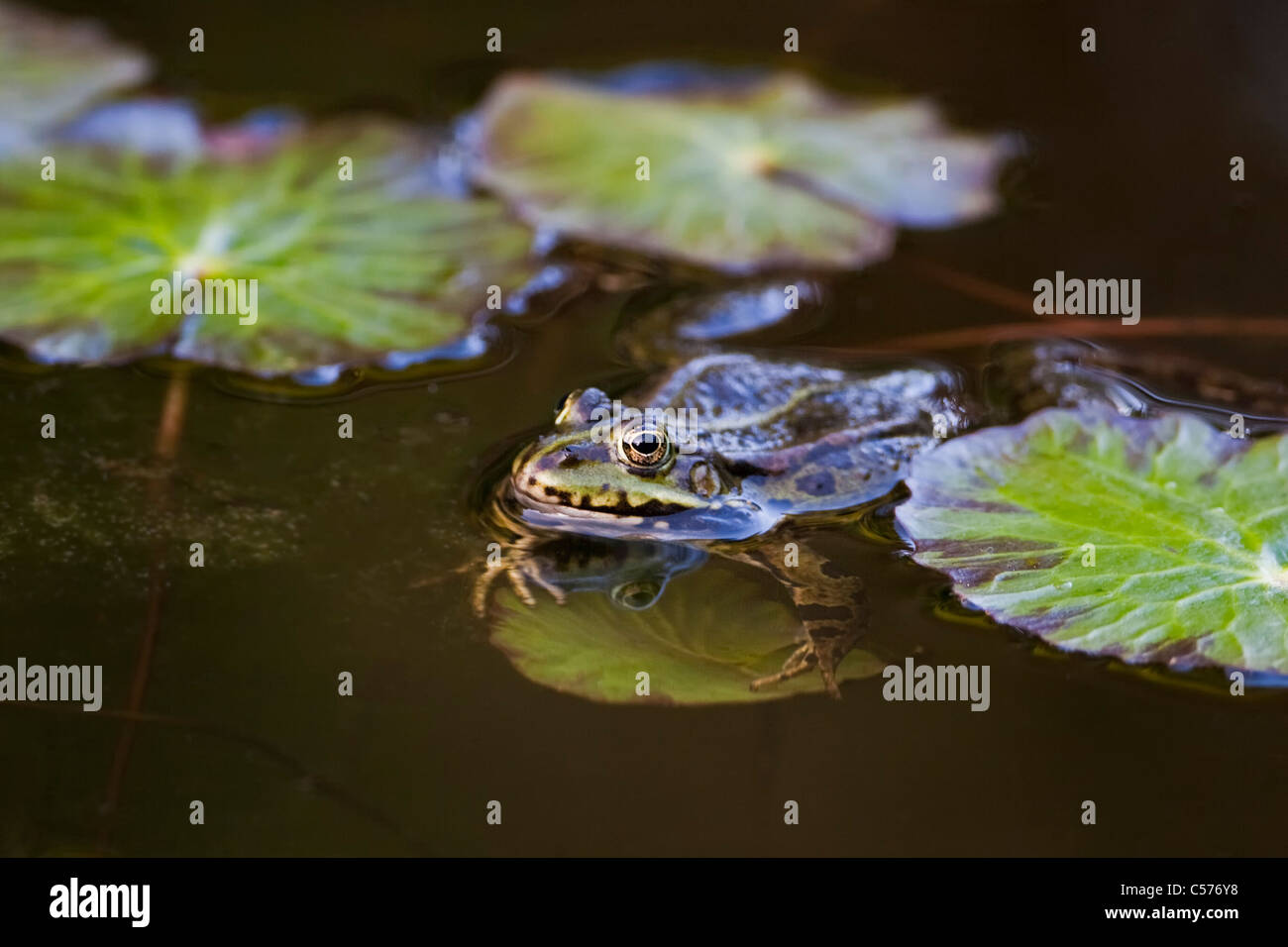The Netherlands, Blokzijl, Pool Frog, Pelophylax lessonae. - Stock Image