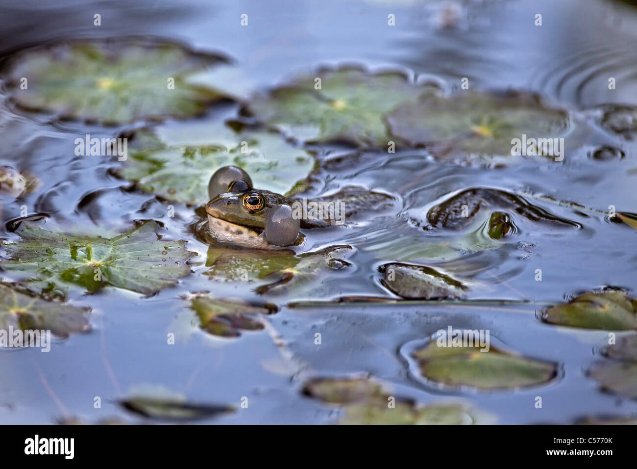 The Netherlands, Blokzijl, Croaking Pool Frog, Pelophylax lessonae. - Stock Image