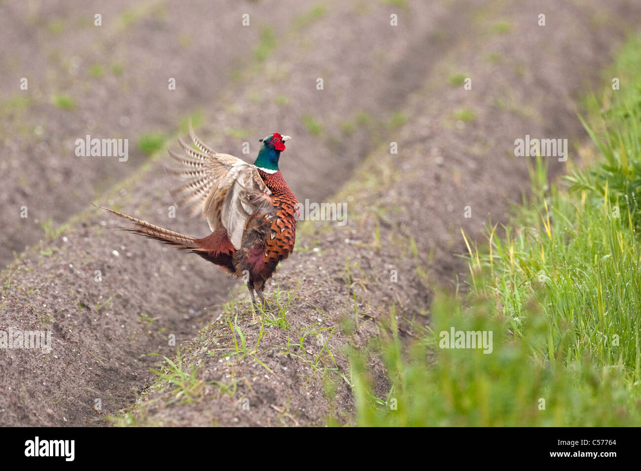 The Netherlands, Blankenham, Male pheasant. Phasianus colchicus. Stock Photo