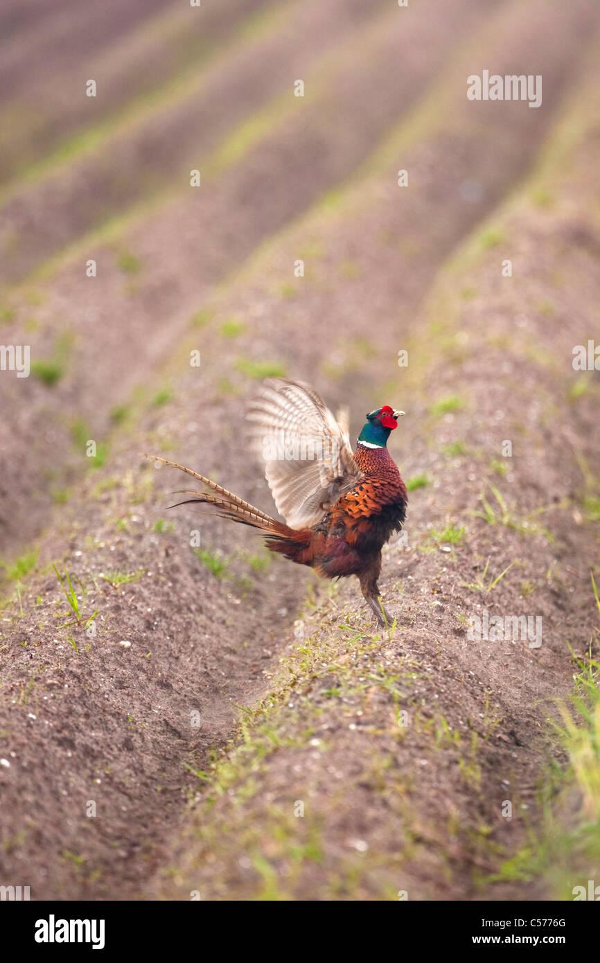 The Netherlands, Blankenham, Male pheasant defending his territory. Phasianus colchicus. - Stock Image