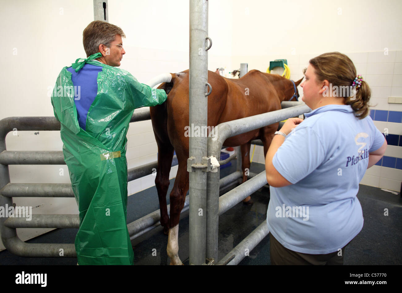 Rectal examination of a horse - Stock Image