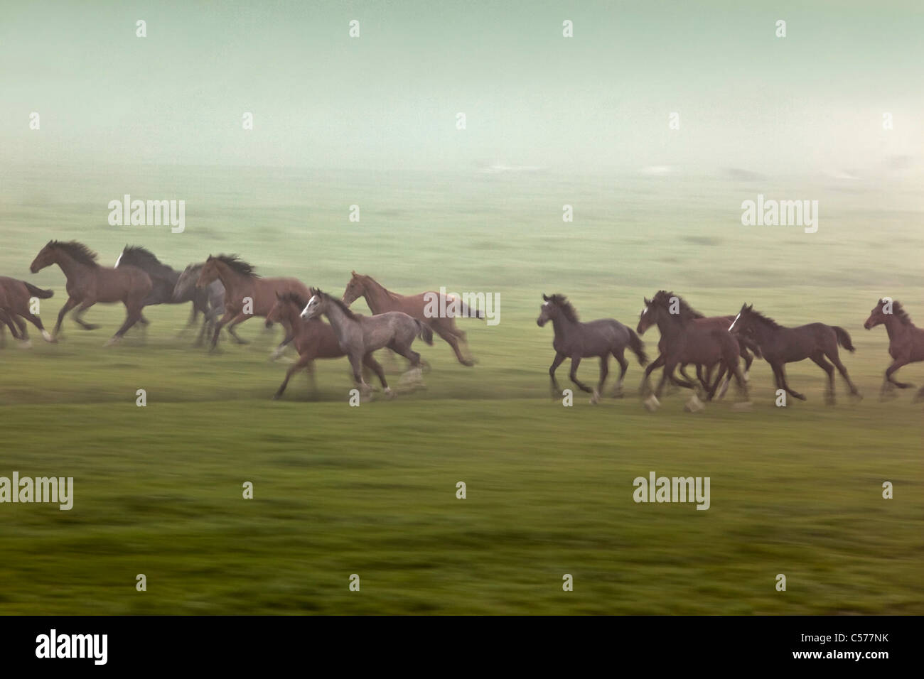 The Netherlands, Zalk, Young horses running in morning mist. - Stock Image