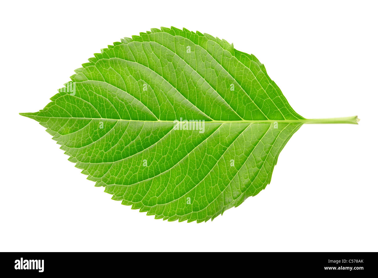 Single Hydrangea leaf isolated on white - Stock Image