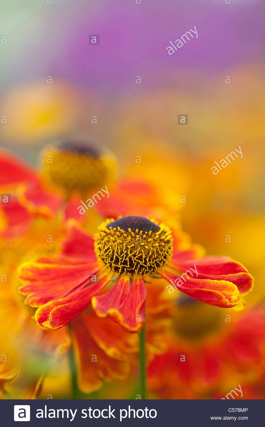 Helenium 'Waltraut' . Sneezeweed flowers - Stock Image