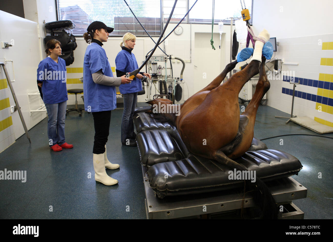 An anesthetized horse is being laid on an operating table - Stock Image