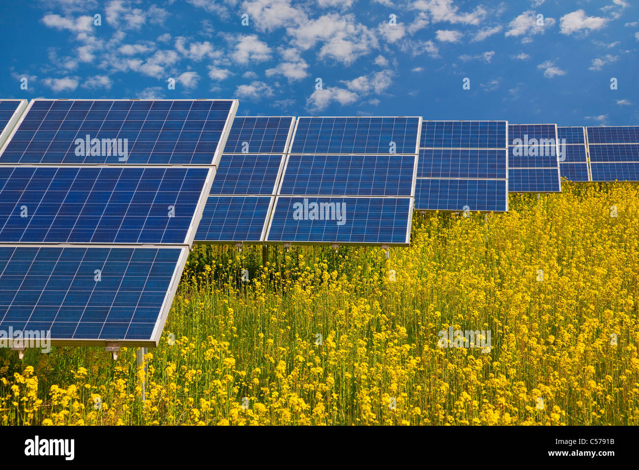 Solar panels in rapeseed field - Stock Image