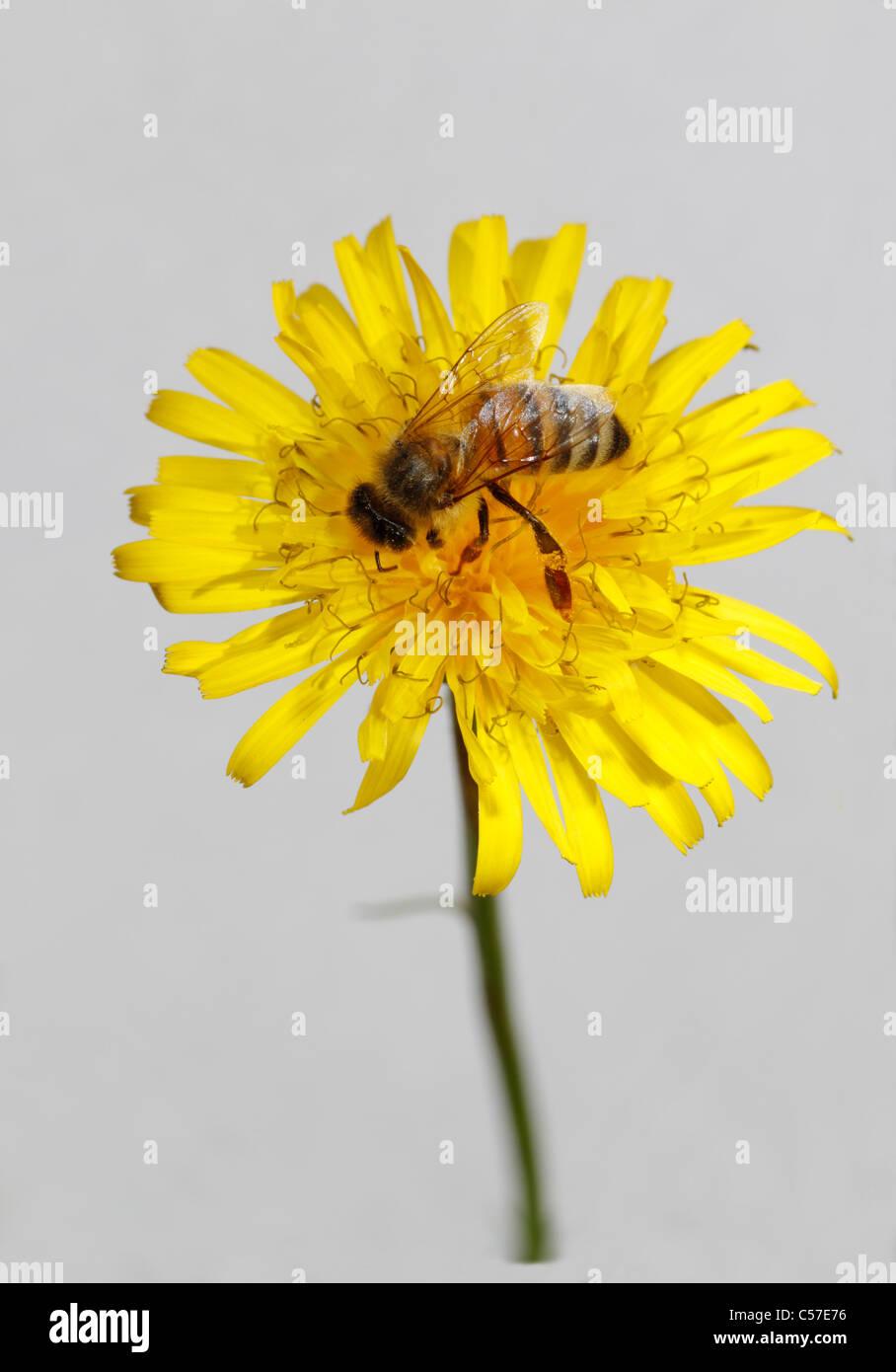 Honey bee on Dandelion. - Stock Image