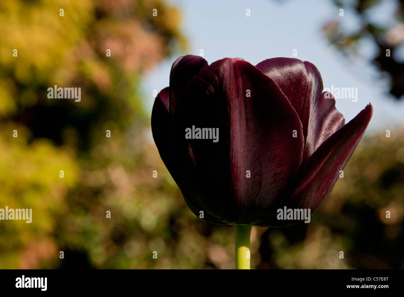 Close up of dark maroon tulip - Stock Image