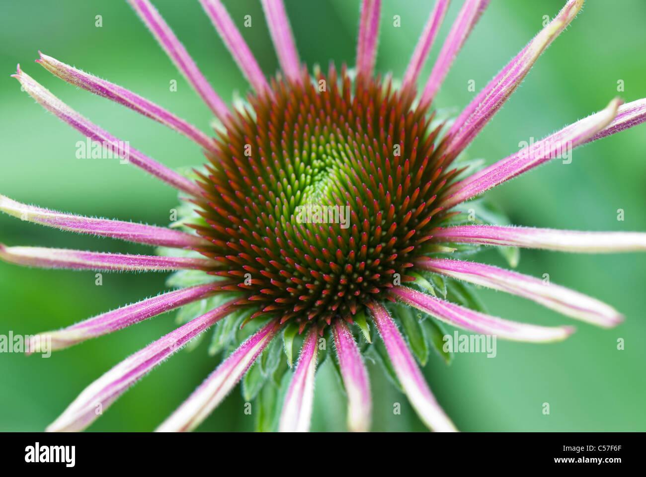 Echinacea purpurea also known as eastern purple coneflower or purple coneflower - Stock Image