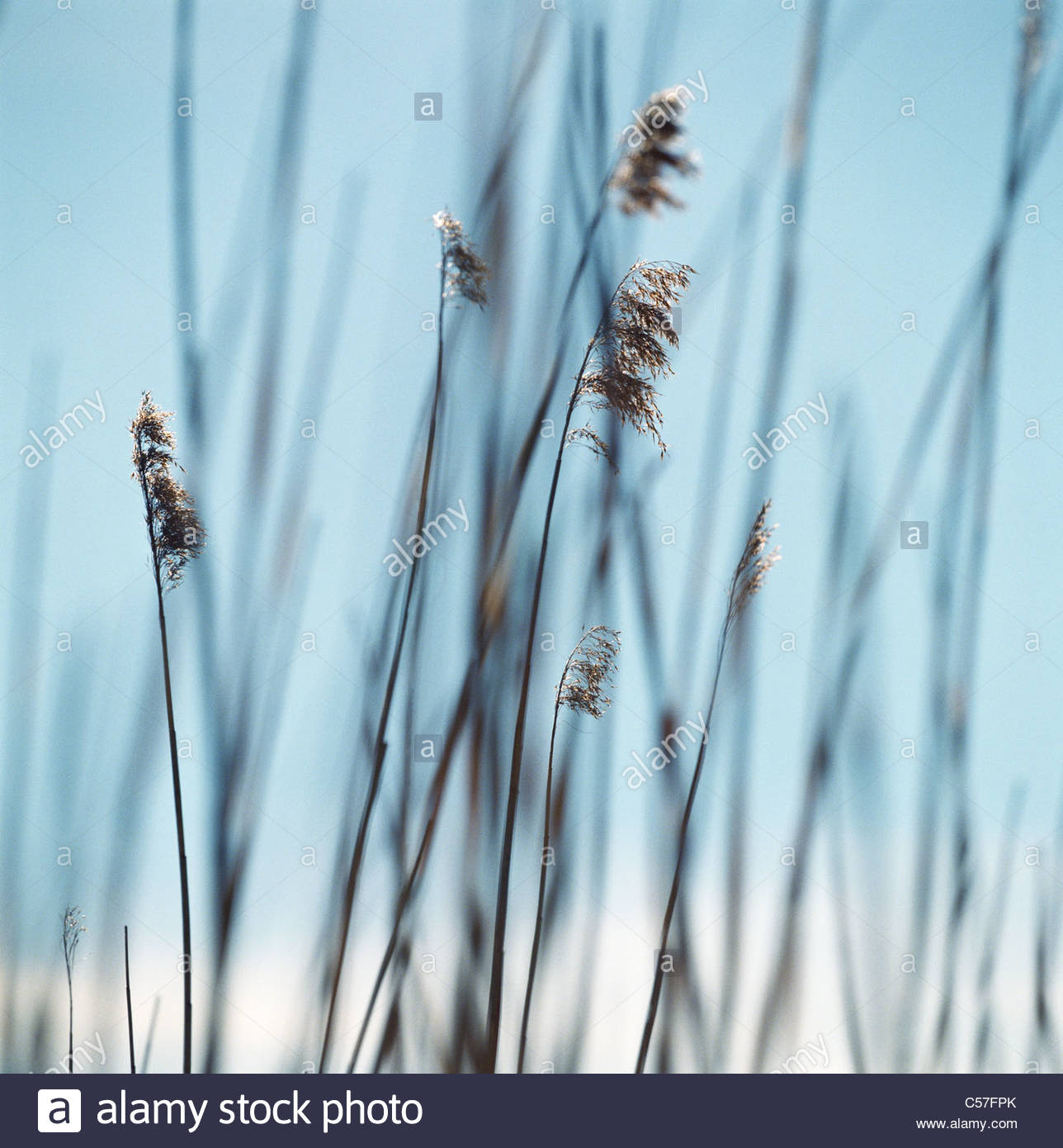 Close up of tall grass - Stock Image