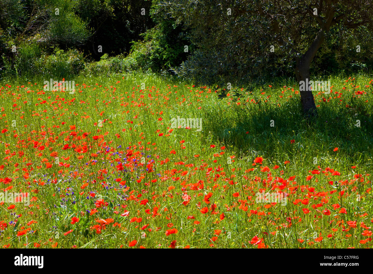 Les Alpilles, France, Europe, Provence, Bouches-du-Rhône, meadow, trees, olive trees, flowers, poppy - Stock Image
