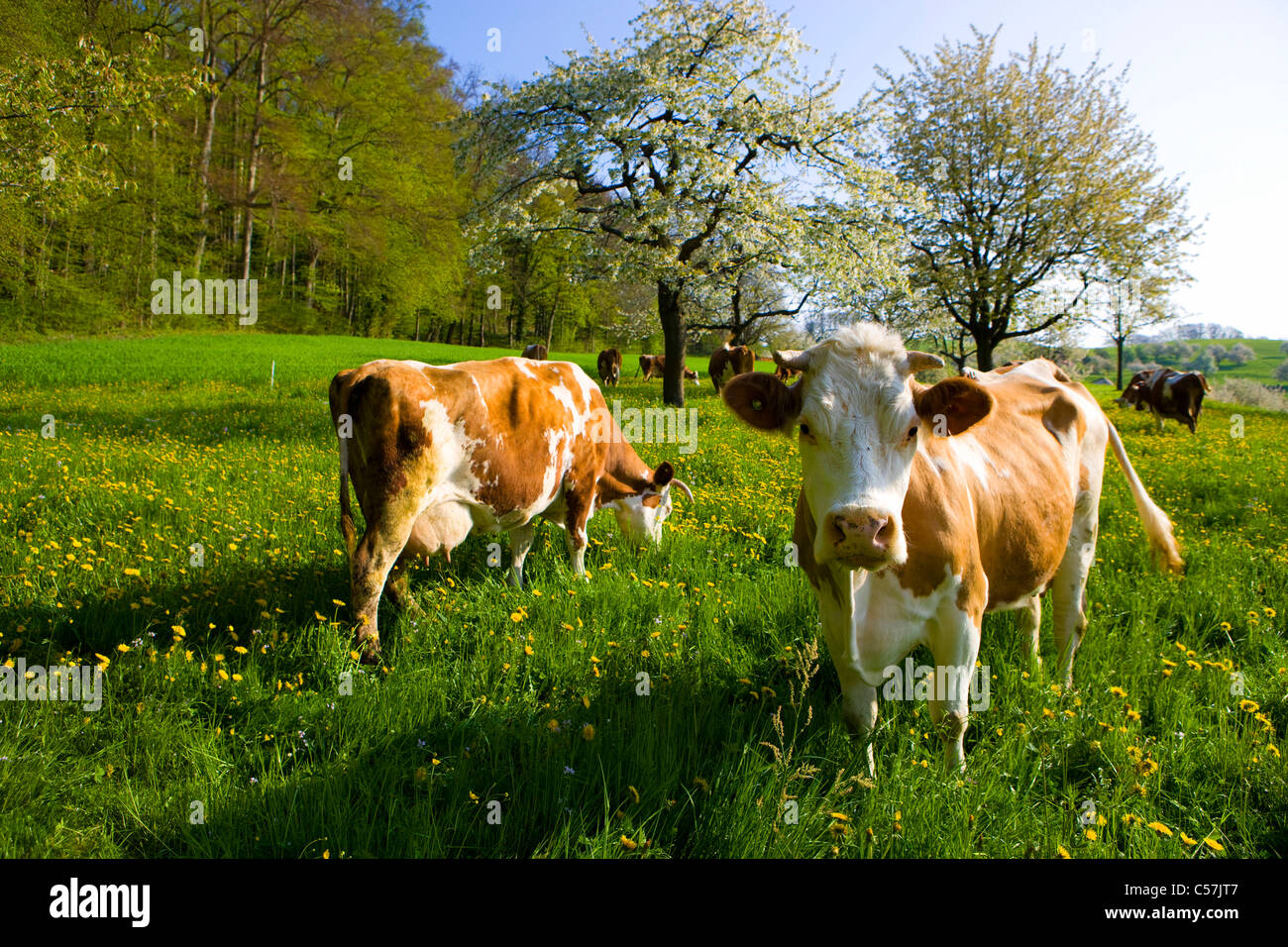 Reigoldswil, Switzerland, Europe, canton Basel land, meadow, blossoming, fruit-trees, cherry trees, cows, cow's - Stock Image