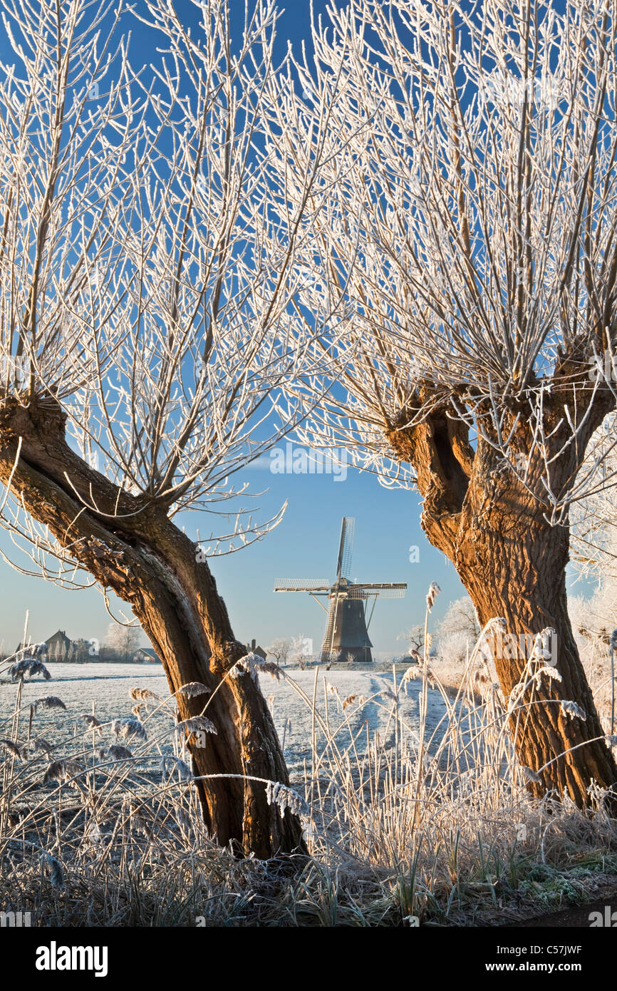 The Netherlands, Nigtevecht, Sheep and windmill in snow. Willow trees. - Stock Image
