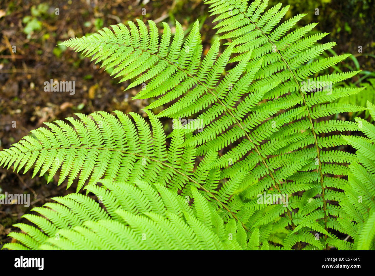 Fern leaves. UK. - Stock Image