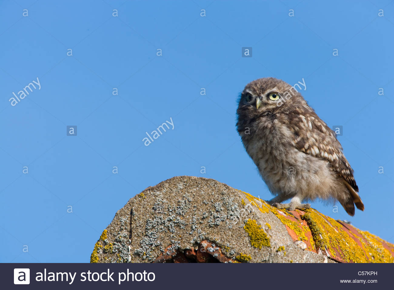 Little Owl on the roof of a derelict building. - Stock Image