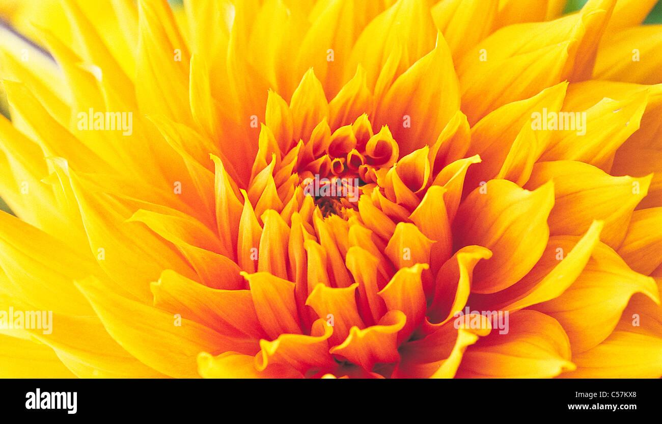 Close up of a golden orange chrysanthemum head unfurling petals - Stock Image