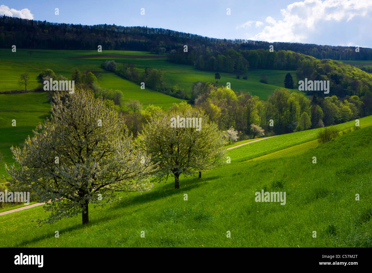 Thalheim, Switzerland, Europe, canton Aargau, meadows, wood, forest, street, blossoming, fruit-trees, cherry trees - Stock Image
