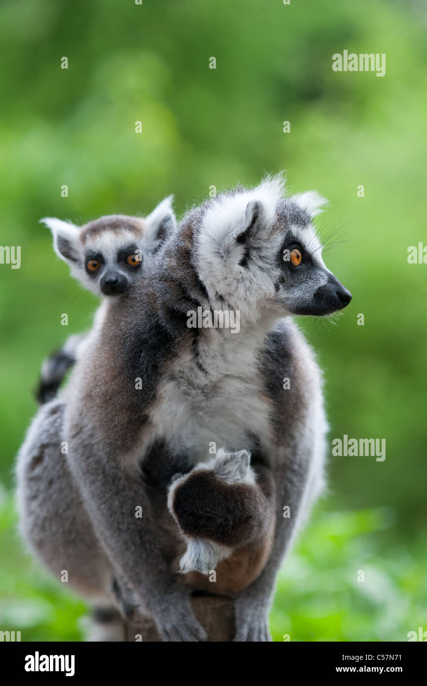 close-up of a ring-tailed lemur with her cute babies (Lemur catta) - Stock Image