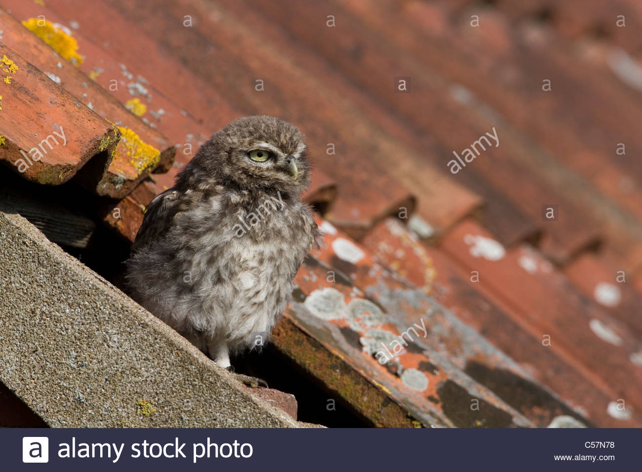 Little Owl on the roof of a derelict building Stock Photo