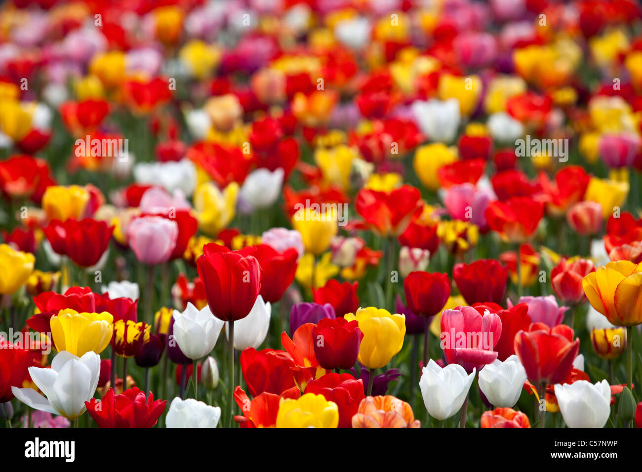 The Netherlands, Lisse, Tulip flowers. - Stock Image
