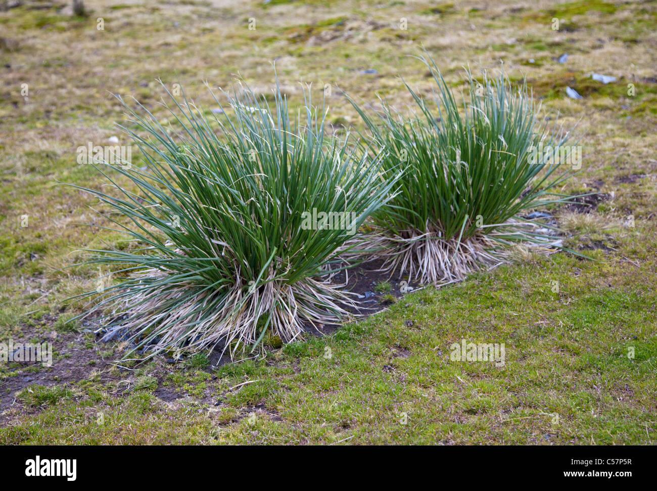 Tussock Grass, South Georgia - Stock Image