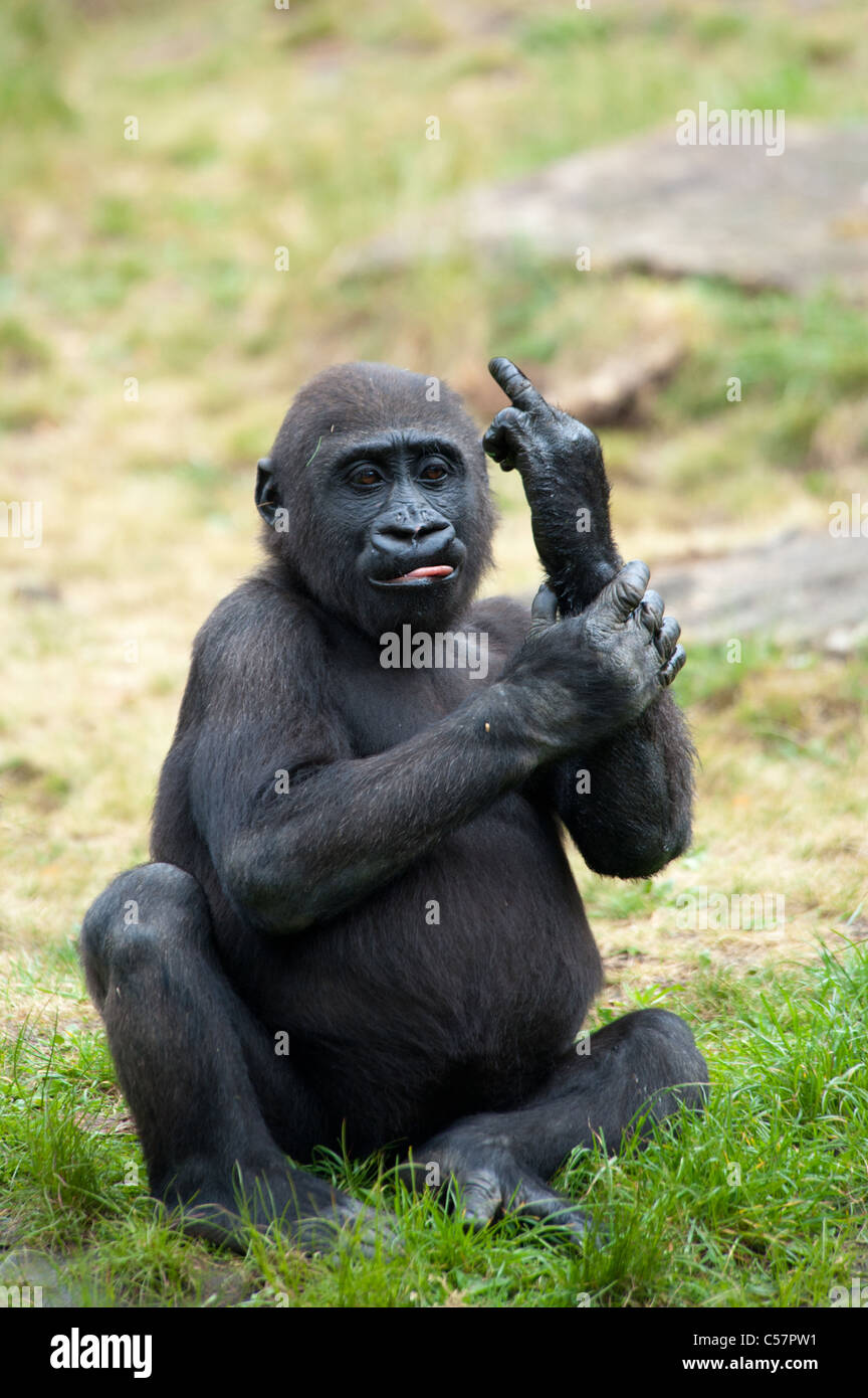 Funny image of a young gorilla sticking up its middle finger - Stock Image