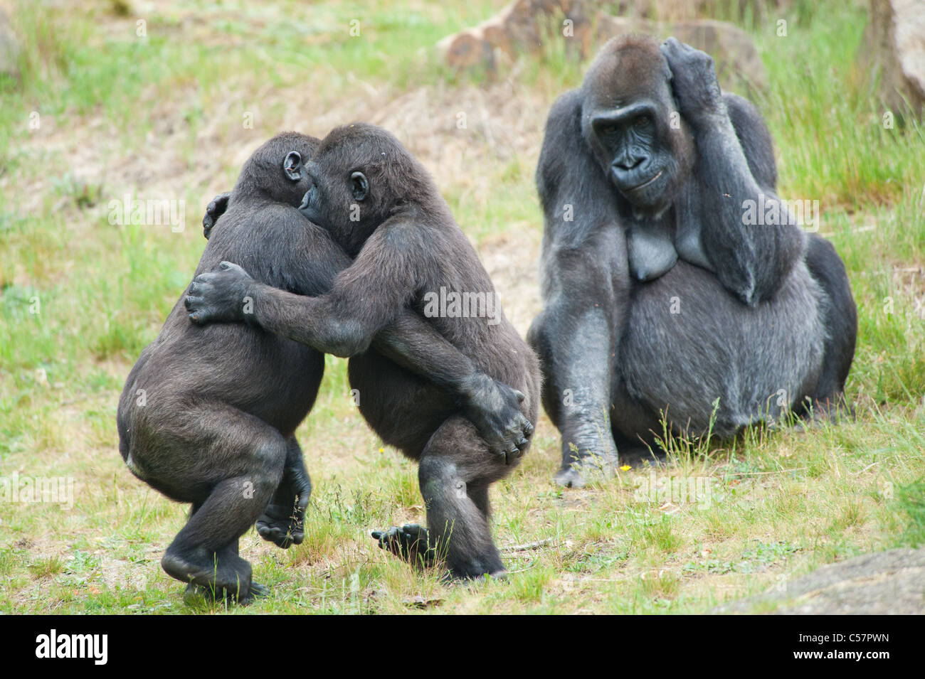 Two young gorillas dancing while the mother is watching - Stock Image