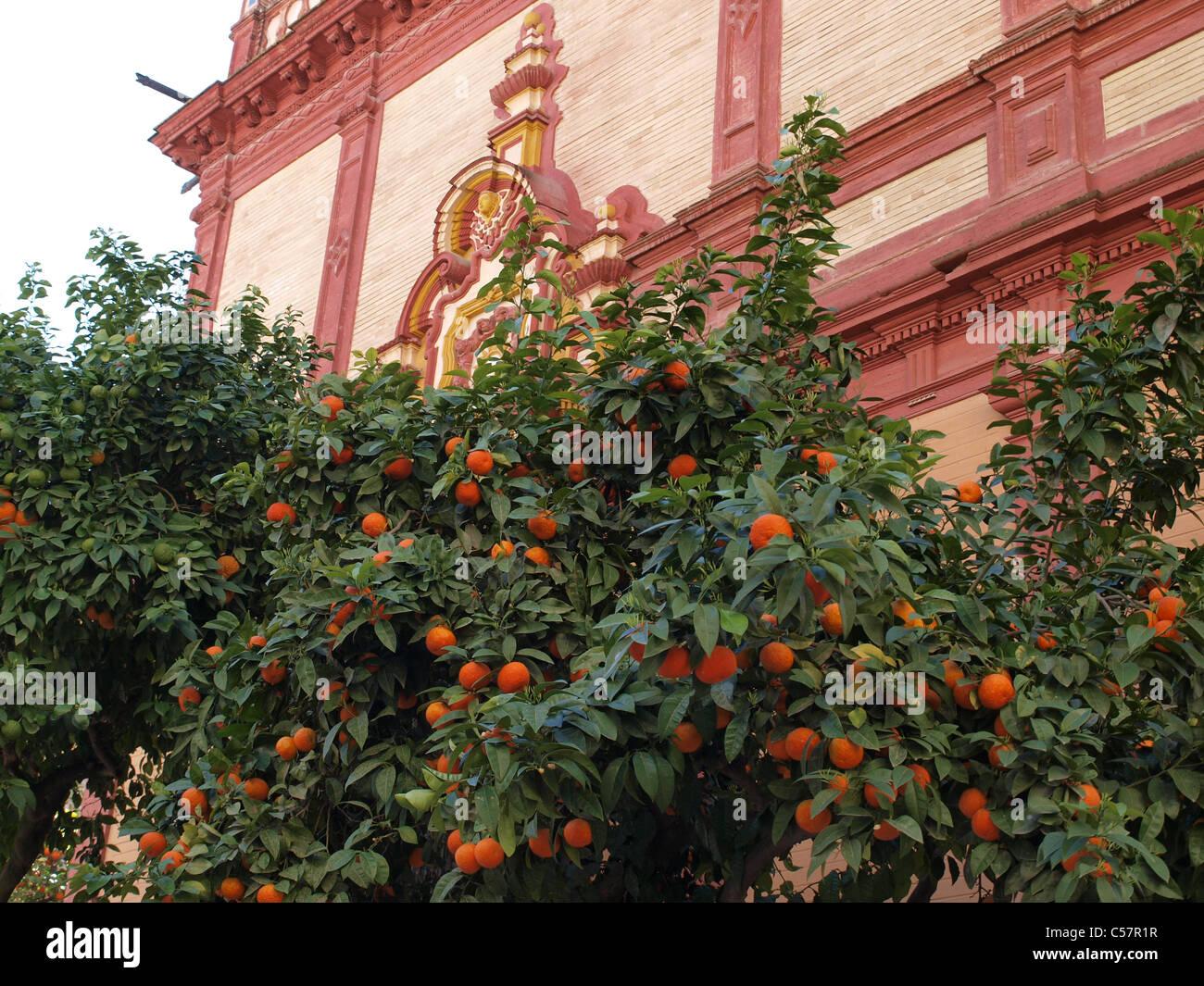 Orange trees in Seville, Spain. - Stock Image