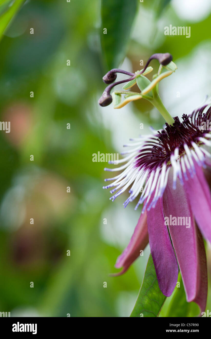 Passiflora violacea . Violet passionflower - Stock Image