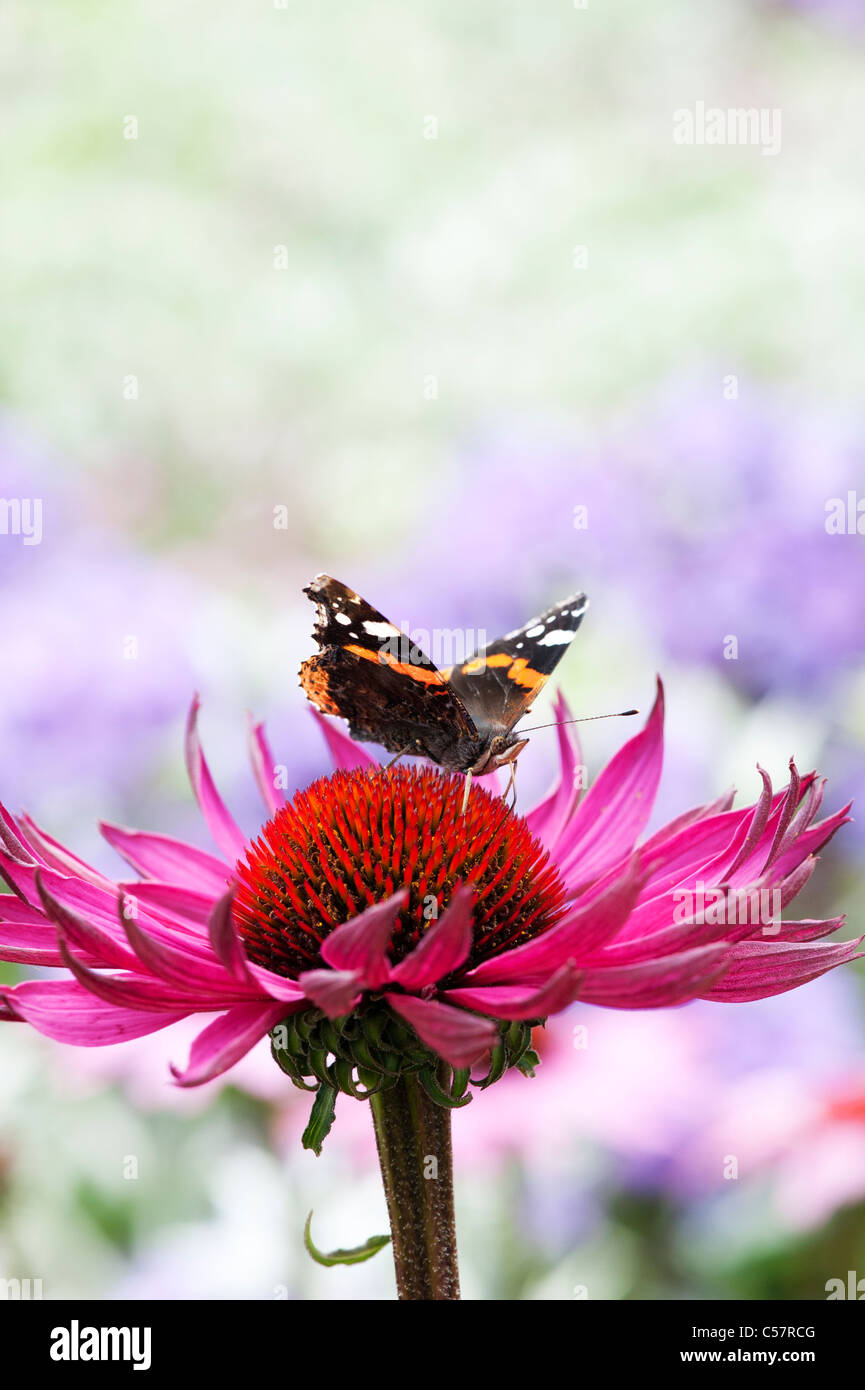 Vanessa Atalanta . Red admiral butterfly feeding on an Echinacea purpurea coneflower - Stock Image