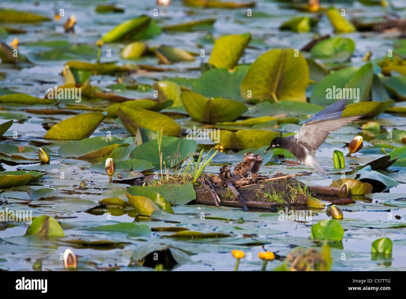The Netherlands, Sluis, National Park called Zouweboezem. Black Terns, Chlidonias niger, breeding. Feeding young - Stock Image