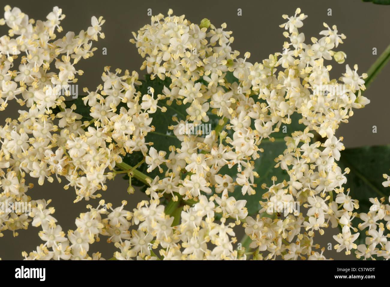 Flower of wild elder (Sambucus nigra) - Stock Image