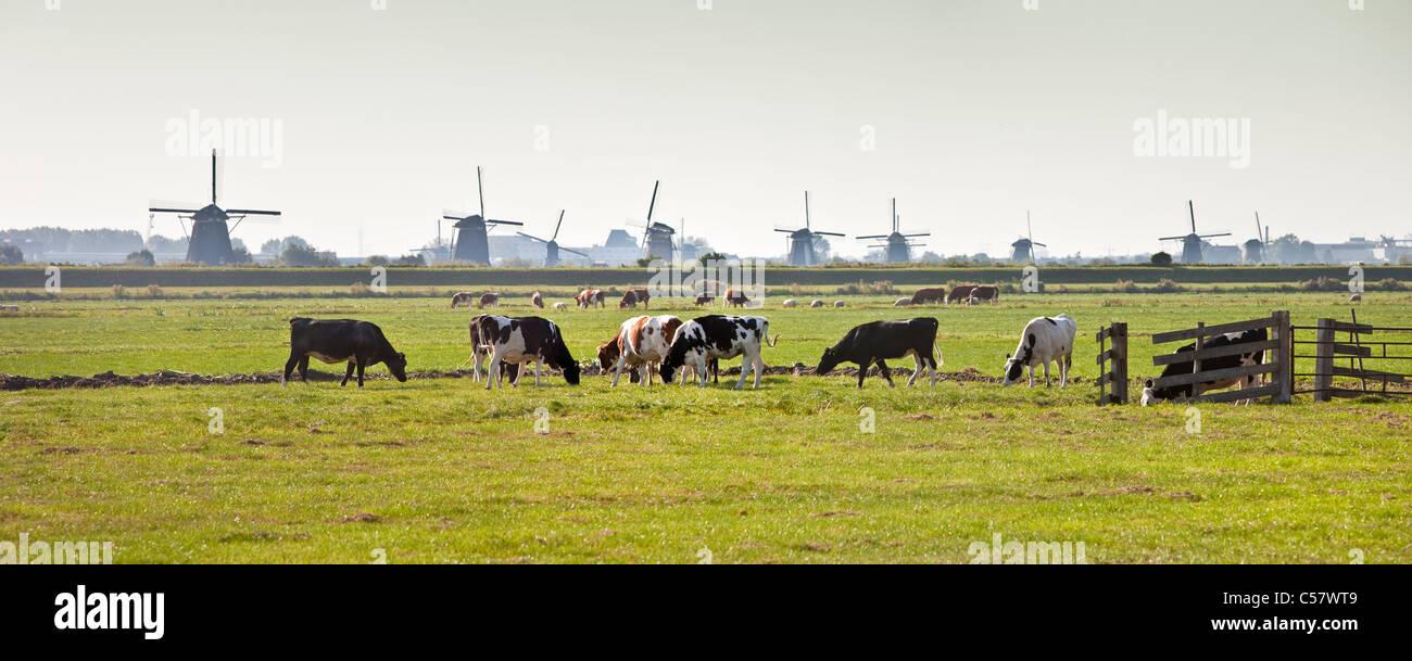 The Netherlands, Kinderdijk, Windmills, Unesco World Heritage Site. Cows in meadow. - Stock Image